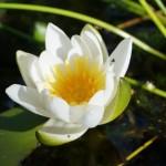 Lilie wodne na mokradłach leśnych Rokitnicy